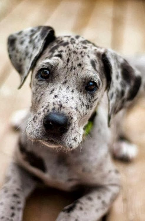 and this is just the absolute cutest lil face! makes me feel warm and fuzzy all over.: Doggie, Dane Puppies, Great Danes, Dogs, Merle Great Dane, Great Dane Puppy, Dog S, Friend