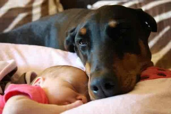 Best Family Dog - Doberman Pinscher: Aww Dobermans, Dogs Dobermans,  Doberman Pinscher, Doberman S