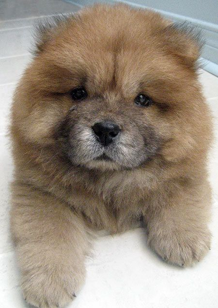 Chow chow dogs originated from mainland China, this dog earned the nickname the Lion Dog because its shape is similar to the male lion. It is estimated that this dog has been there since the year 150 BC, the palace is used as guard dogs and hunting friend