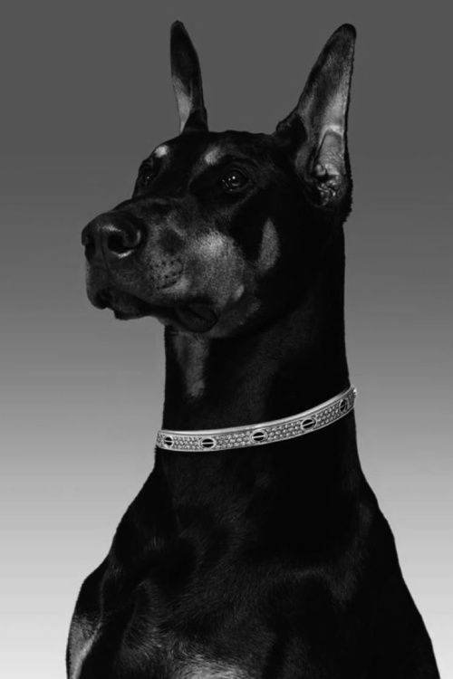 Doberman's make great companion animals. Perhaps we will have one later in life ...: Doberman Beautiful, Beautiful Dobermans, Future Pet, Doberman S, Loved Dobermans, Animal