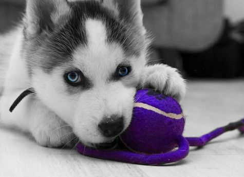 husky-he said we can get one after baby is a little older...glad we both have the same favorite dog! Lexi is gonna freak out! Lol: Cute Animal, Siberian Husky, Husky Puppie, Siberian Huskies, Blue Eyes, Huskies Puppies, Adorable Animal