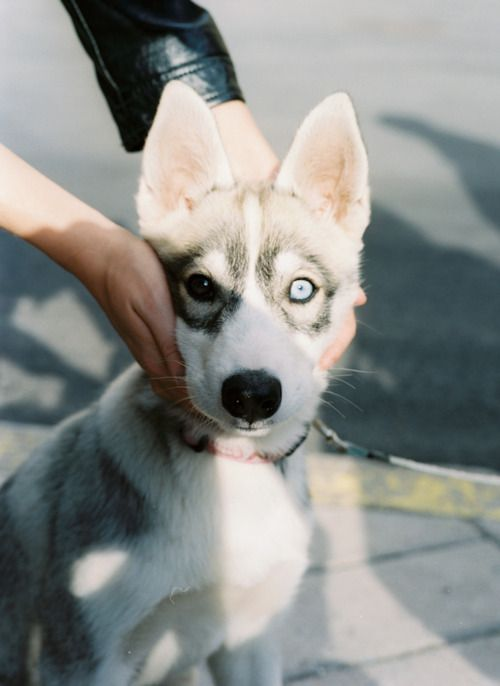 I love it when they have different eye colors, means this little guy was suppose to be a twin!: Husky Pup, Eye Color, Brown Eye, Siberian Huskies, Blue Eyes, Huskies Puppies