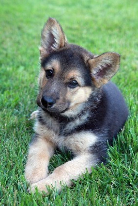 Adorable German Shepherd Puppy Royalty Free Stock Photo, Pictures, Images And Stock Photography. Image 14351943.: German Shepards, Pet, Puppys, German Shepherd Puppies, German Shepherds, Dog, Animal