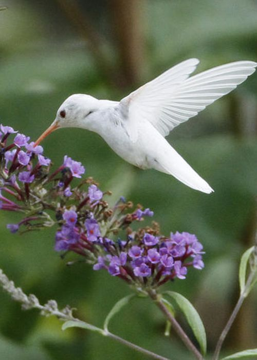 All About Ruby-throated Hummingbirds | Amazing Photos of Very Rare Albino Ruby-Throated Hummingbird. What a beautiful bird!: Humming Birds, Amazing Photo, Albino Ruby Throated, Red Rose, Beautiful Birds, Albino Hummingbird, Hummingbirds