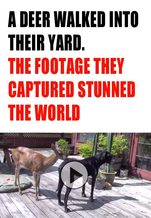 Anyone who thinks that animal don't show emotion and develop friendships needs to see this stunning video! This deer not only befriends a loving Great Dane, but also the family cat! When the deer started playing with the dog at 1:42, my soul literally mel