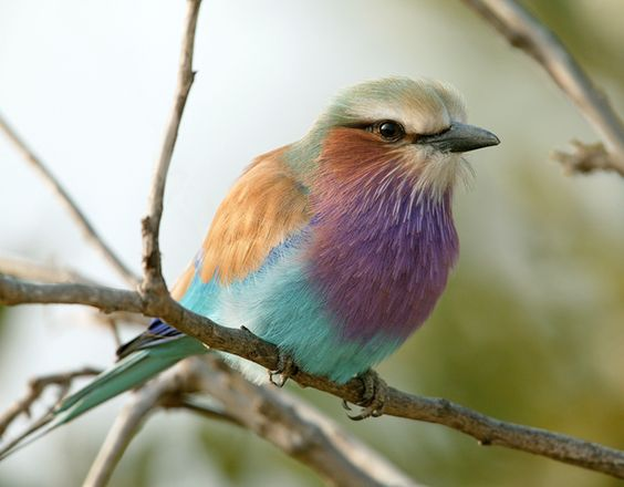 Proof that me and God like the same colour schemes - Lilac Breasted Roller