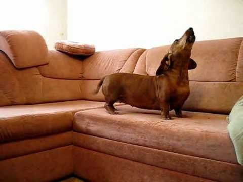 The DachsSong - YouTube My doxie Java howled like this!
