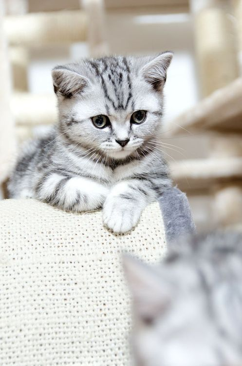 This Pin was discovered by Beth Stratton. Discover (and save!) your own Pins on Pinterest.: Cats, Grey Cat, Animals, Grey Kitten, Pet, Pretty Cat, Kitty Kitty, Kittens