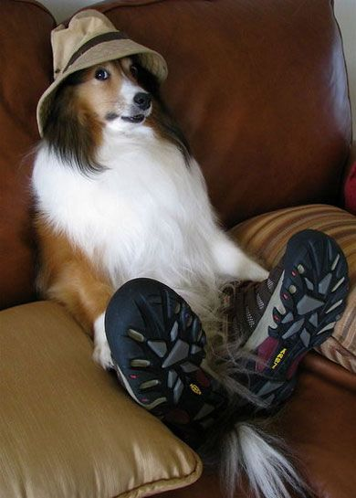 can we go for a walk now!? Love shelties...One of my 5 would be like this!!!: I M Ready, Funny Animals, Funny Dogs, Adorable Animals, Funny Stuff, Cute Animals, Funnydogs, Furry Friends