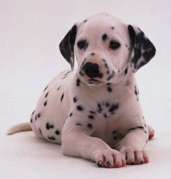 Dalmation puppy- my daughter and husband both keeps begging for one of these!