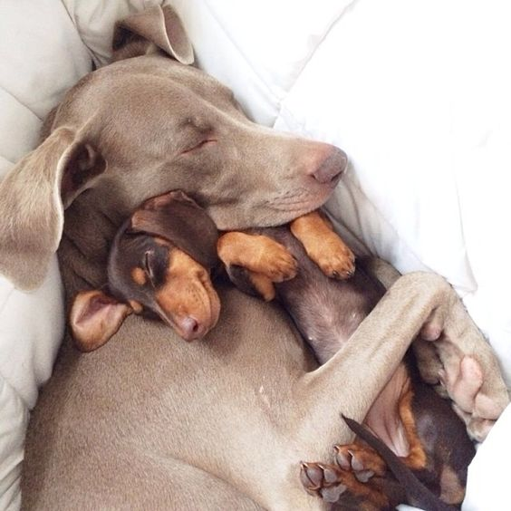 Harlow and Sage, one of the funniest + sweetest Instagram channels.: Doggie, Animals, Dogs, Sweet, Best Friends, Dachshund, Doxie, Pets, Puppy