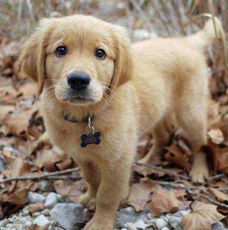 Hi, my name is Apollo (Golden Retriever)… I am my mom & dad's first puppy together, so I am spoiled rotten. They take me everywhere. We just got back from an awesome camping trip where I got to hike, attack leaves & splash in streams. It was s