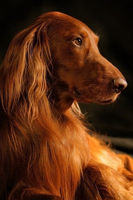~In memory of my dog, Red  (above note from previous pinner) He's beautiful.  I know he will be missed.