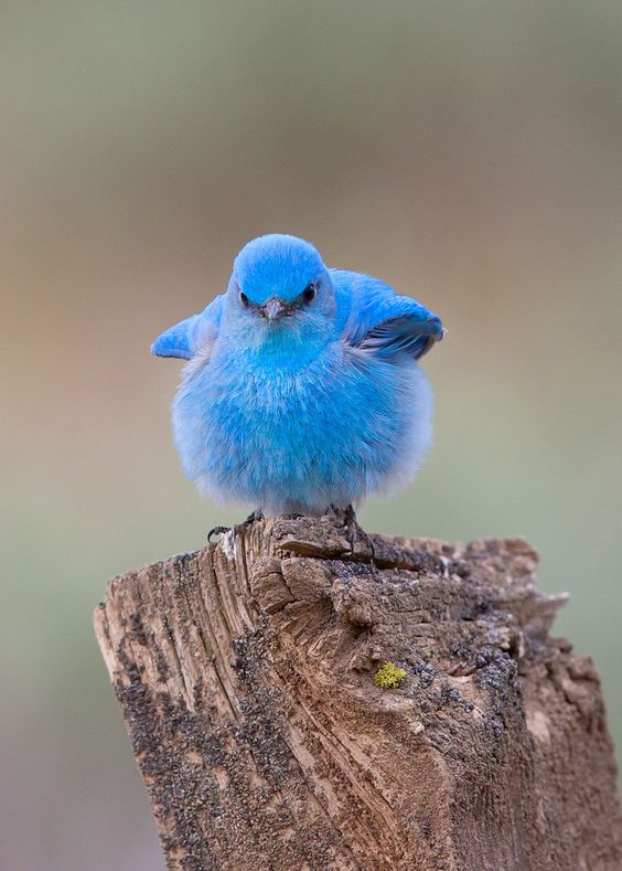 Mountain Bluebird by Bruce Benson, 2013. © B Benson. ☀
