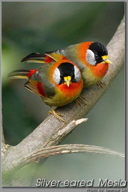 Silver-eared Mesia   ...........click here to find out more     http://googydog.com