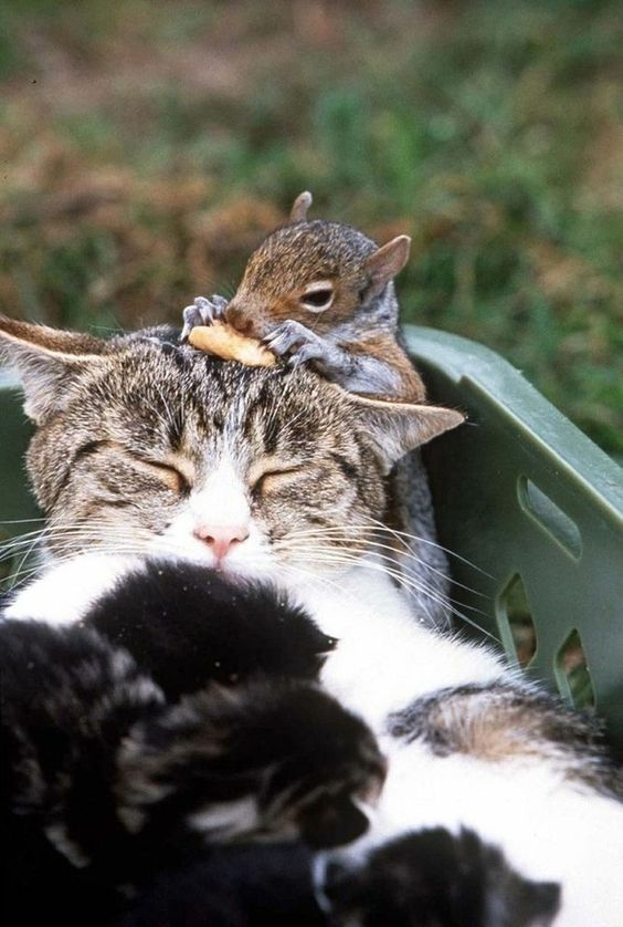 The Cat and Her Squirrel   The 21 Most Touching Interspecies Friendships You Never Thought Possible: Cats, Animal Friendship, Animals, Squirrels, Baby Squirrel, Interspecies Friendship, Hilarious Photo, Adorable Animal, Furry Friends