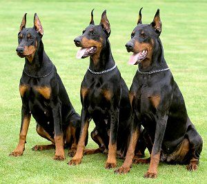 The Trio . I would Love to have a doberman They are one of my favorite dogs.