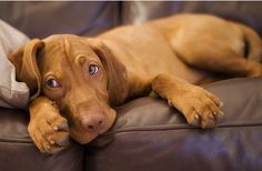 Differences Between the Vizsla and Weimaraner (Infographic)  http://www.dogchannel.com/dogsinreview/vizsla-weimaraner-differences-infographic.aspx: Dogs, Pet, Blue Eyes, Weimaraner Puppies, Weimaraner S, Baby, Animal