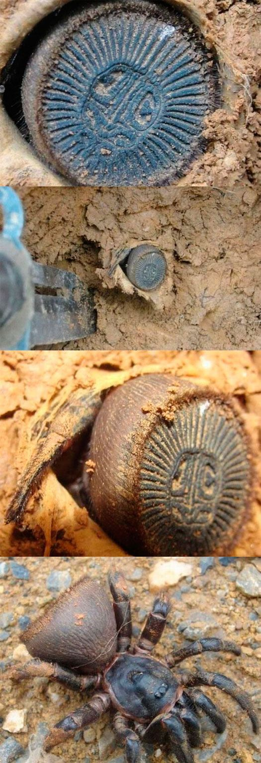 Let Me Take a Closer Look…Oh No WTF  You can't tell me that spiders can evolve to tricking archeologists now!!!! NOOOOOO!!!!!!: Animals, Spiders, Coin, Trapdoor Spider, Nope Nope Nope, Shit, Closer