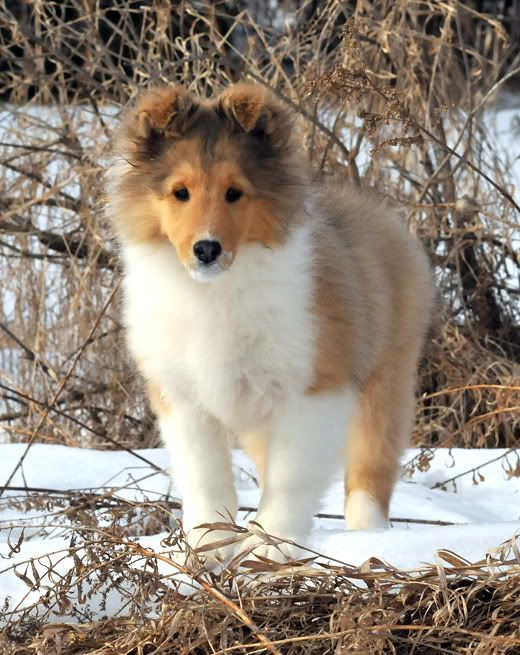 Laureate Shelties: Laureate Shelties, Puppies Dogs, Sheltie Puppy, Dogs Puppies, Shelties Puppy, Collie Puppy, Shelties Dog