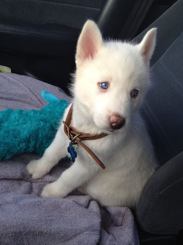 Brady :) my little Siberian Husky sweetheart!: White Husky, Siberian Husky Puppies, Blue Eye, Siberian Huskies, Huskies Puppies, Husky Sweetheart, Animal