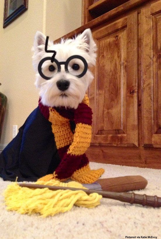 Ever imagined what Harry Potter would've looked like if he was a dog? Now you don't have to.: Westie, Animals, Dogs, Halloween Costumes, Harrypotter, Pets, Dog Costumes, Puppy, Harry Potter