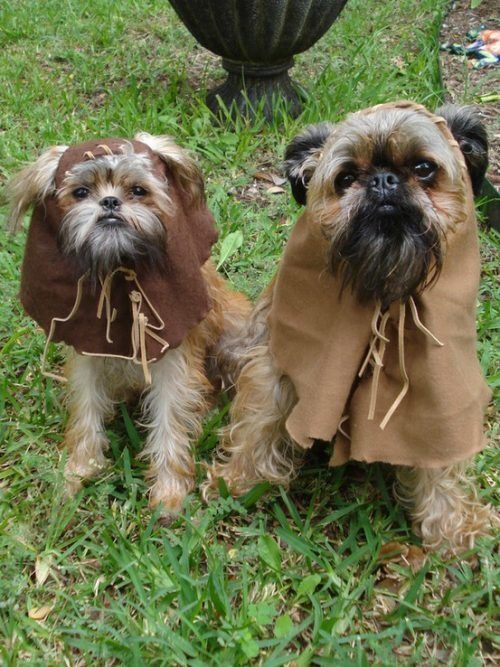 ewok :)   ... mum has one of these dogs ... if we made her the costume she'd probably fall into severe depression! lol - the dog that is!: Animals, Kwok Dogs, Halloween Costumes, Pet, Funny, Star Wars, Starwars