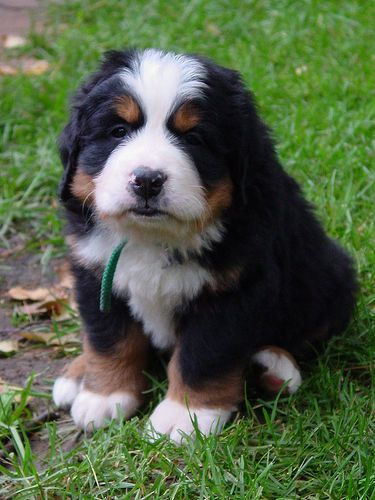Quincy - Bernese Mountain Dog by North of 49, via Flickr: Animals, Bernese Mountain Dogs, Pet, Puppys, Burmese Mountain Dogs, Baby, Friend