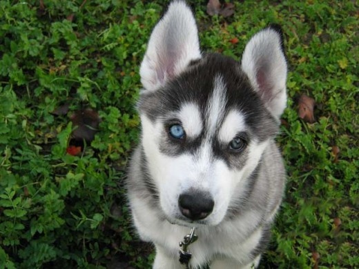 Siberian Husky facts and training tips.: Husky Puppy Training, Pet, Husky Facts, Puppys, Siberian Huskies, Husky Puppy Tips, Siberian Husky Dogs, Husky Training Tips, Animal