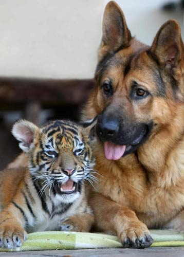 So this is how you do it.  Stick your tongue out a little further...: Favorite Animals, Dogs, Pet, Tiger Cubs, Odd Couple, German Shepherds, Tigers, German Shepard