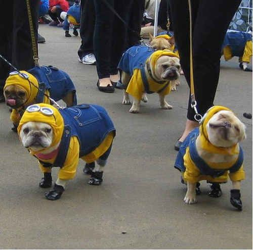 These dogs in wonderful matching blue overalls. | The 31 Most WTF Pictures Of Dogs Being Dogs: Minions, Animals, Dogs, Pet, Funny, Bulldog Minion, Minion Dog