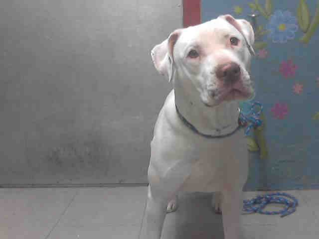 URGENT ~ LYLA - ID#A4666210  My name is Lyla and I am described as a female, white Pit Bull Terrier mix  The shelter thinks I am about 4 years old.  I have been at the shelter since Jan 06, 2014.       For more information about this animal, call: Los Ang