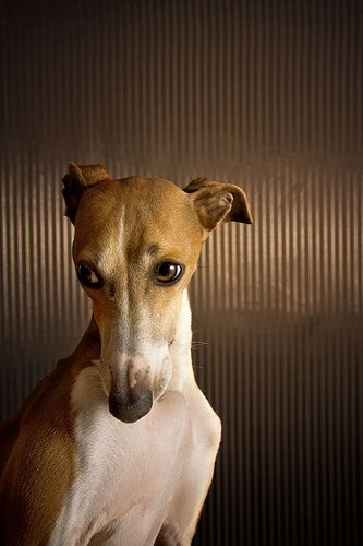 How can you go wrong with a face like that!  I need to find me an apartment that will allow a big lovable greyhound.