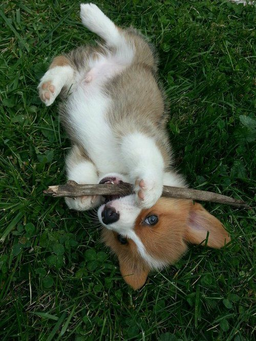 """Oh, yeah, I found the stick. It's a good stick. I like it. I guess I got carried away and forgot to bring it back, huh? Um... do you still want it? Because I'm kind of in the zone here..."": Corgis, Animals, Dogs, Corgi Puppies, Pet, Puppy"