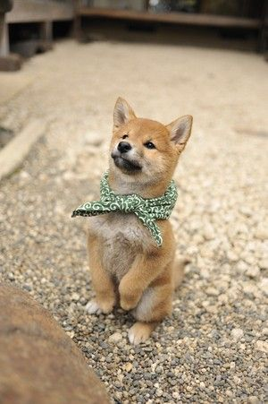 shiba inu. I fell in love with one of these in the pet store!: Animals, Dogs, Akita Inu, Pet, Shiba Inus, Shiba S, Shibainu