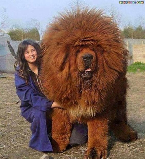 The Biggest Dog Breeds in the World: Biggest Dog Breed, Dogs, Worlds Biggest Dog, Big Dog Breed, Largest Dog Breed, Tibetan Mastiff, Animal