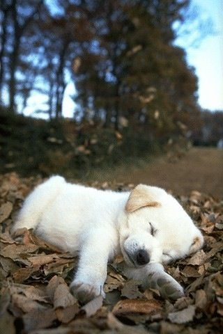 this is a dog i want when i grow up.: Animals, Dogs, Pet, Sleepy Puppy, Puppys, Lab Puppies, Box, Labrador