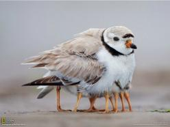 10 legged-bird…or maybe a mother keeping her chicks warm...: Piping Plover, Babies, Animals, Mothers, Nature, Legs, Photo, Birds