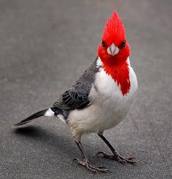 """""""Red-Crested Cardinal"""" also known as  """"Brasilian Cardinal."""" Seen often in pairs, generally on lawns and in trees. It is a fairly aggressive species. It was introduced to Hawaii around 1930 from South America. It is now common in Oahu and M"""