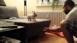 A French bull dog puppy named Rocky has so much trust in his human Peter Valko that he fearlessly jumps off the sofa and into Peter's arms over and again. Of course all that jumping can make for on...: Puppy Takes, French Bulldogs, Puppy Leaps, Bulldo