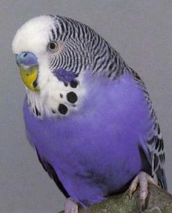 "A parakeet, or budgie.  I've always liked them; my gramma had a green one named ""Pretty Boy""; he would say his name!  I've always wanted a turquoise one...but now that I know an occasional purple one occurs...I'd rather have one of tho"