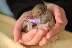 According to Solent News and Photo Agency, this 3-week-old gray squirrel suffered bruising to her leg and was separated from her mother when she fell from a tree last week. The squirrel, named Violet, endured the ordeal when the branch that held her nest