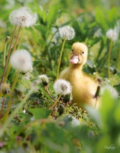 adorable little duckling: Farm, Duckling, Dandelion, Ducks, Spring, Animal, Country