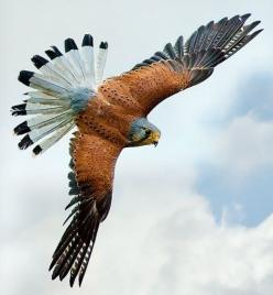 American Kestrel . . . a beautiful bird.: Animals, Eagle, American Kestrel, Falcons, Raptor, Beautiful Birds