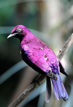 Amethyst Starling, the Violet-Backed Starling or the Plum-colored Starling. This bird is widely found in the woodlands of sub-Saharan Africa.: Purple, Amethyst Starling, Violets, Beautiful Birds, Beautifulbirds, Male Violet Backed, Animal, Violet Backed S