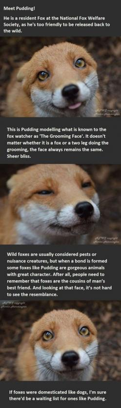 AWWW: Funny Fox, Aww Pudding, Domestic Fox, D Awww, Friendly Fox, Misunderstood Creatures, Domesticated Fox, Pet Fox, Animal
