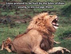 Awww- wait, they're encouraging them to be better hunters... They still get parenting awards.: Wild, Dad, Animals, Big Cats, Bigcats, Funny, Lions Pretend, Kid