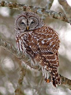 Barred Owl, My favorite owl ever, my dad has Barred owls that live in his yard!: Owl Birdsofprey, Birds Of Prey, Birds Sitting, Birds Owls, Animals Various Beautiful, Barred Owls, Greeting Card, Barred Owl ️, Beautiful Owls