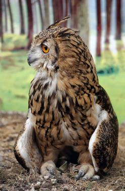Beautiful....Great Horned Owl: Birds Owls, Nature, Posts, Animals Birds, Hoot, Great Horned Owl, Real Owl