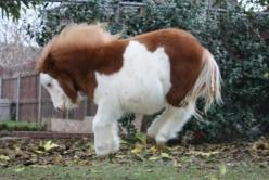 Besides the fact that this little one is ADORABLE IN EVERY WAY, he is homozygous for Splash White 1!: Equine, Adorable Animals, Miniature Horses, Mini Horses, Ponies, Minis, Marshmallow Pony, Mini Pony